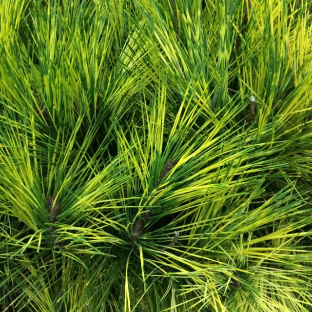 This Dragon's Eye Pine is beautiful-Definitely a trend to plant more conifers