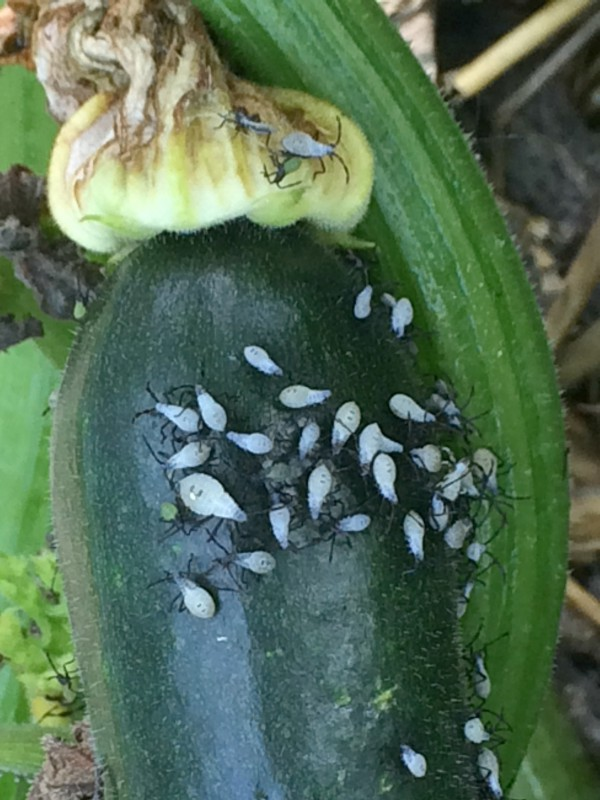 I will be spraying my spinosad on squash bugs