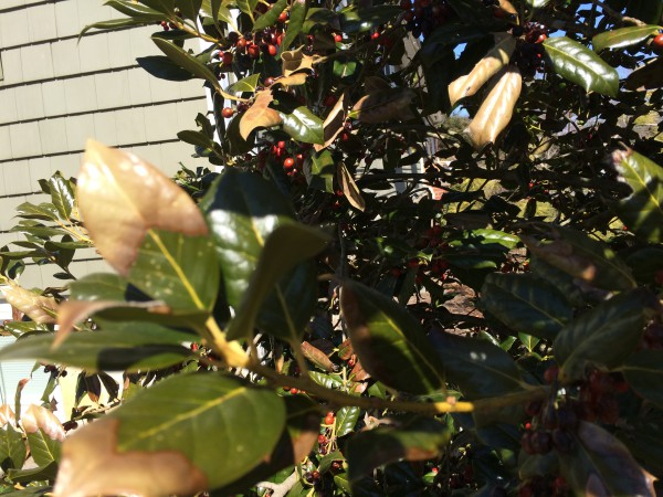 Fresh new growth on evergreens tend to turn brown with sudden cold snaps