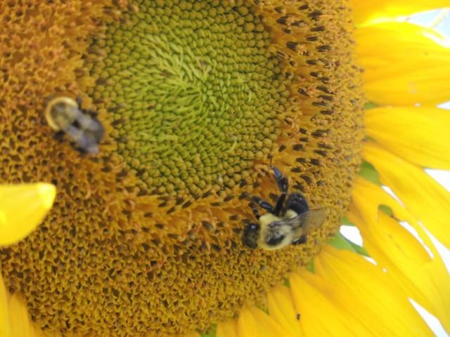 Magical Sunflowers