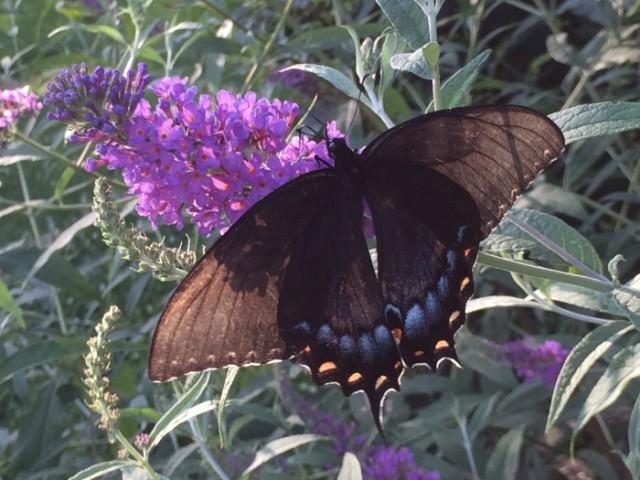 The Great Butterfly Bush Debate