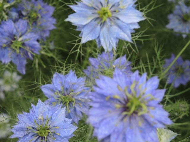 "Nigella damascena or ""Love-in-the-Mist"""