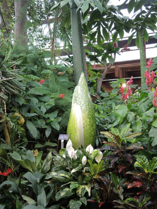 Closed bud of Arum Titan at Toronto Floral Showcase
