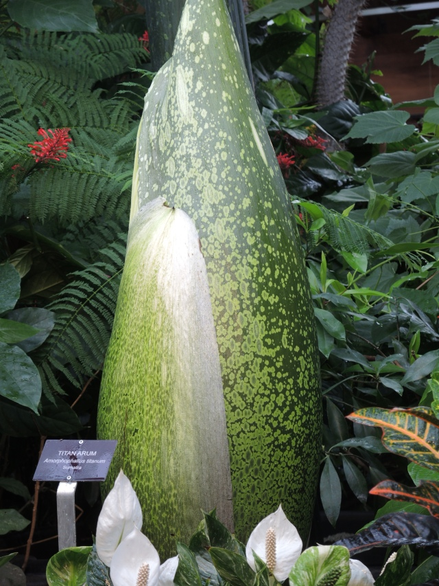 Bud of the Titan Arum