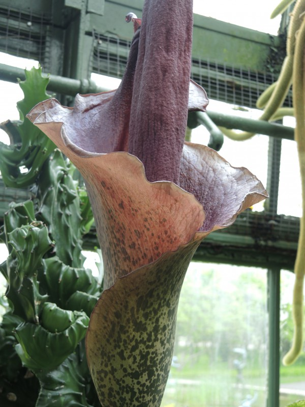 Corpse Flower in full bloom