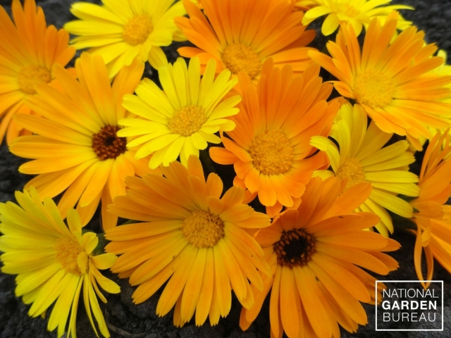Calendula Simplicity Mix, from National Garden Bureau
