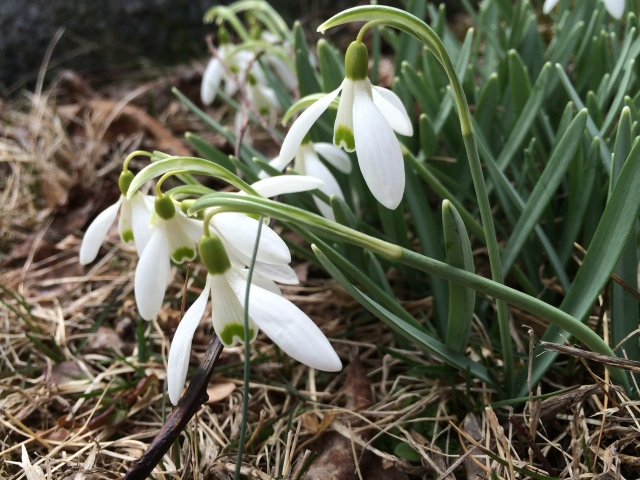 Snowdrops are good companion plantings