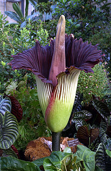 Titan Arum, from Wikipedia