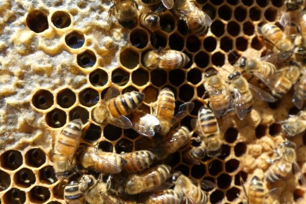 A busy hive with brood and honey