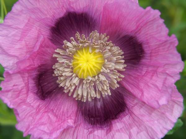 Beautiful poppy, photographed by Pam Corckran