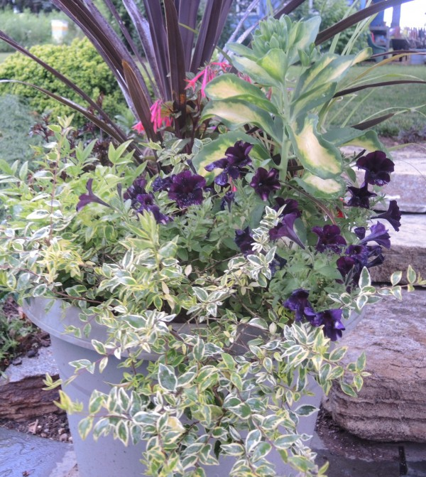black Petunias