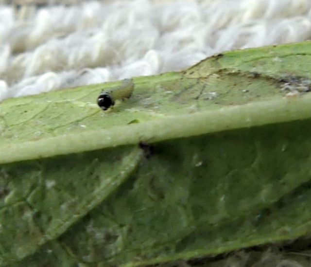 Itty bitty caterpillar with black head