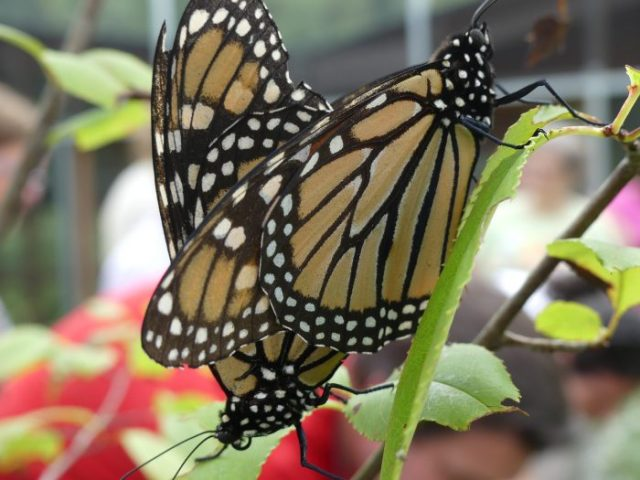 This is where it all starts-Monarchs mating