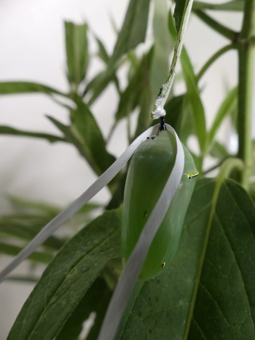 Tying a knot around the stem or Cremaster and moving the chrysalis to a sturdy structure enabled this chyrsalis to transform