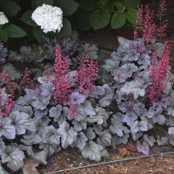 'Silver Gumdrop' Coral Bells, image from Walters Gardens