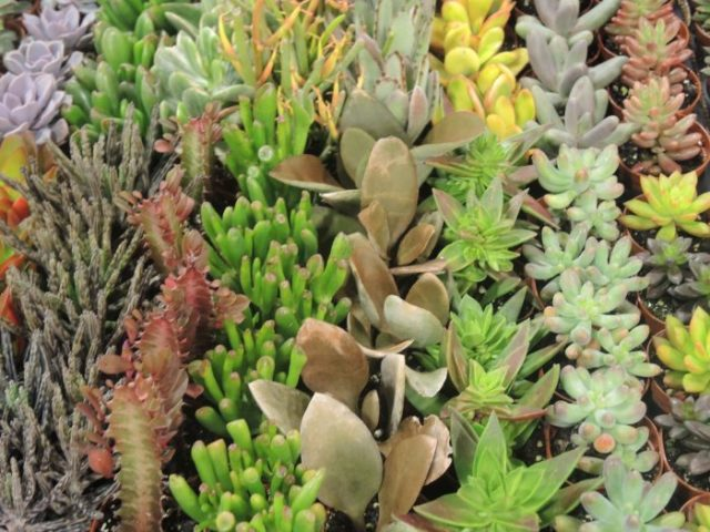 Succulents come in all colors