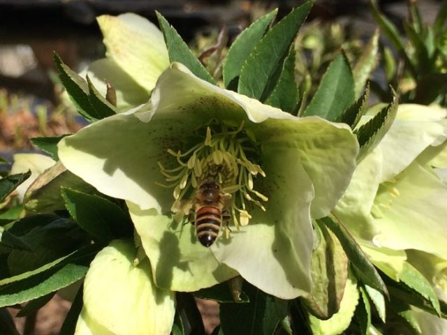 One of my honeybees visiting a hellebore