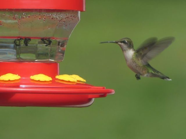Not seen in February in my state of Maryland, the ruby throated hummingbird could be seen in California