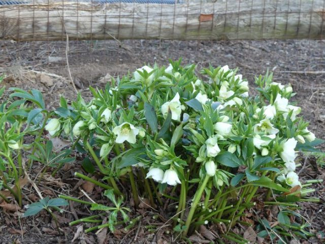 Hellebores deer resistant low maintenance shade loving for Low maintenance shade garden