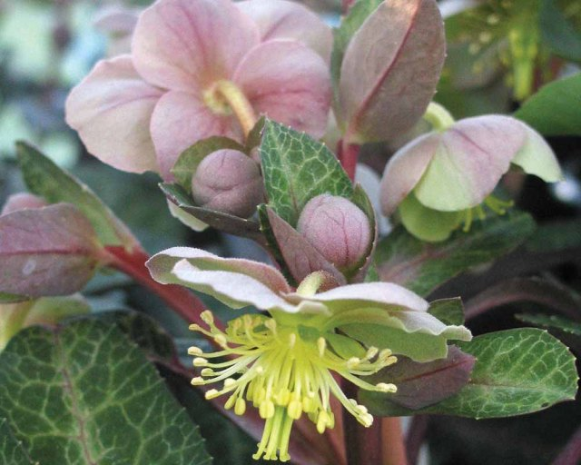 This hellebore has variegated foliage